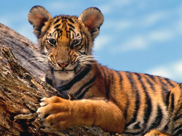 An image of a Tiger Cub